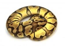 ball python, pastel enchi