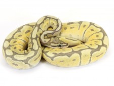 ball python, ghost mojave spider