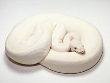 ball python, butter mojave