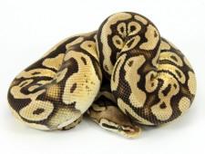 ball python, pastel specter
