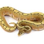 ball python, spider ghost