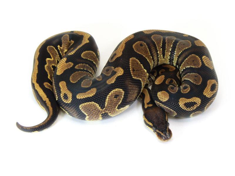 ball python, java