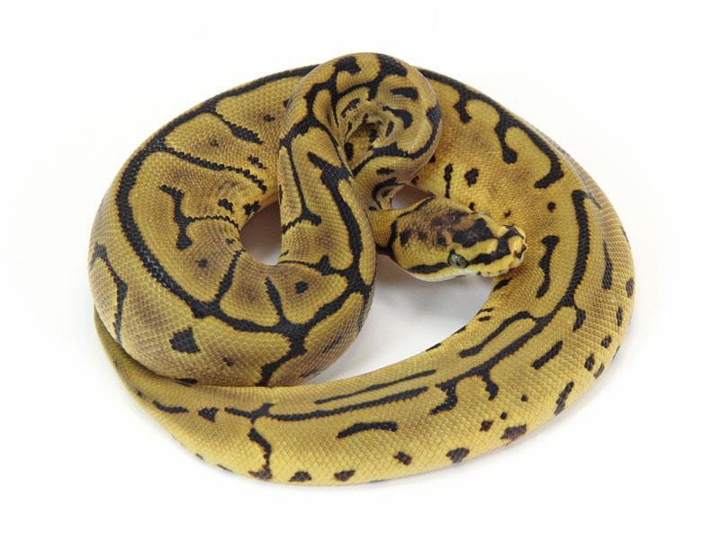 ball python, leopard spider