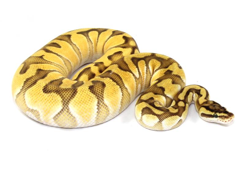 fire pastel ball python