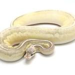 ball python, lithium blaze