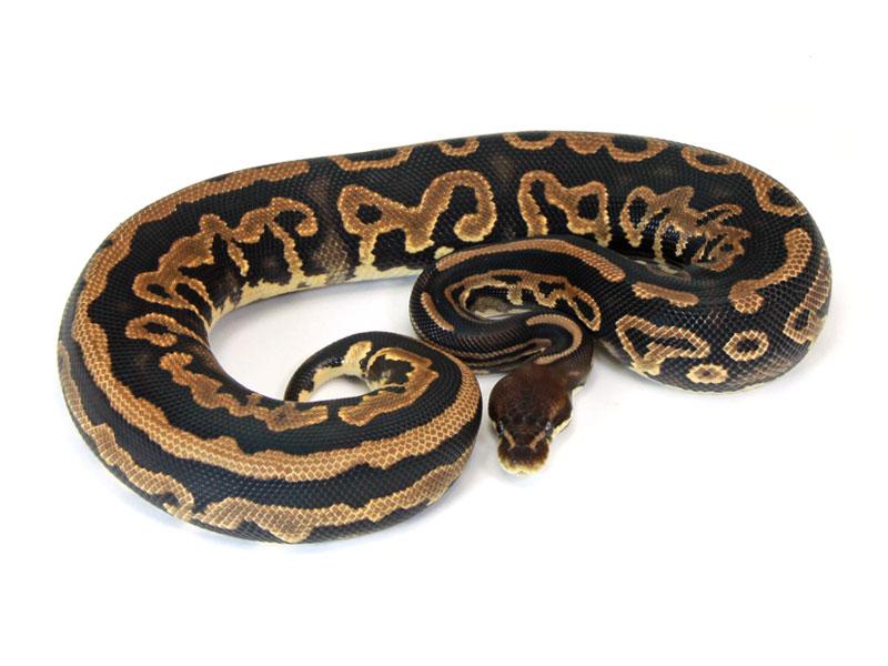 ball python, leopard cinnamon