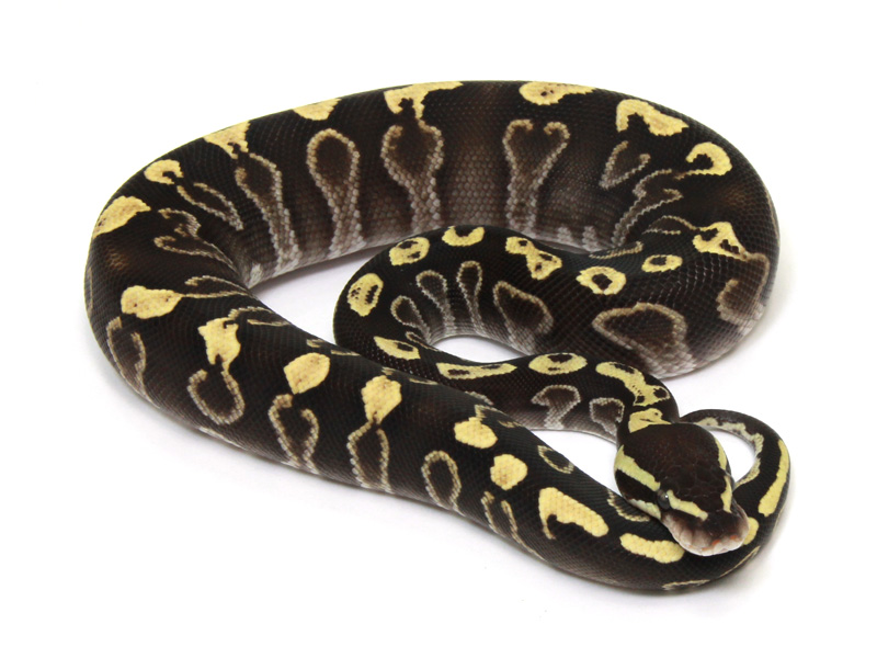 ball python, ghi mojave