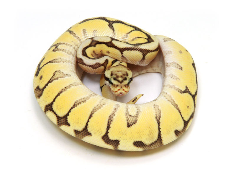 ball python, mojave bumble bee