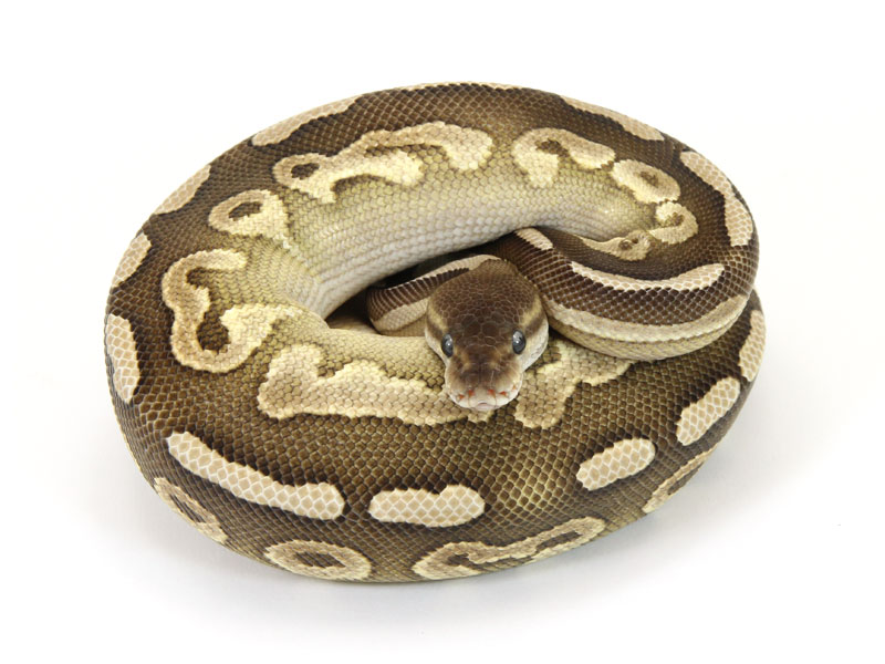ball python, mojave cinnamon