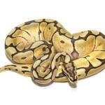 ball python, mojave spider