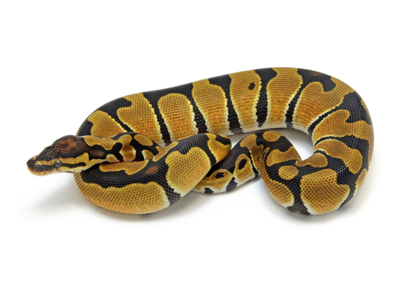 Ball Python, Orange Dream Blade