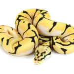 Ball Python, Orange Dream Bumblebee