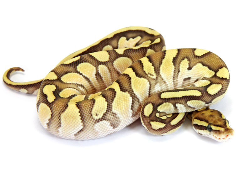 Ball Python, Orange Dream Butter Pastel