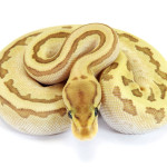 Ball Python, Orange Dream Butter Pinstripe Fire