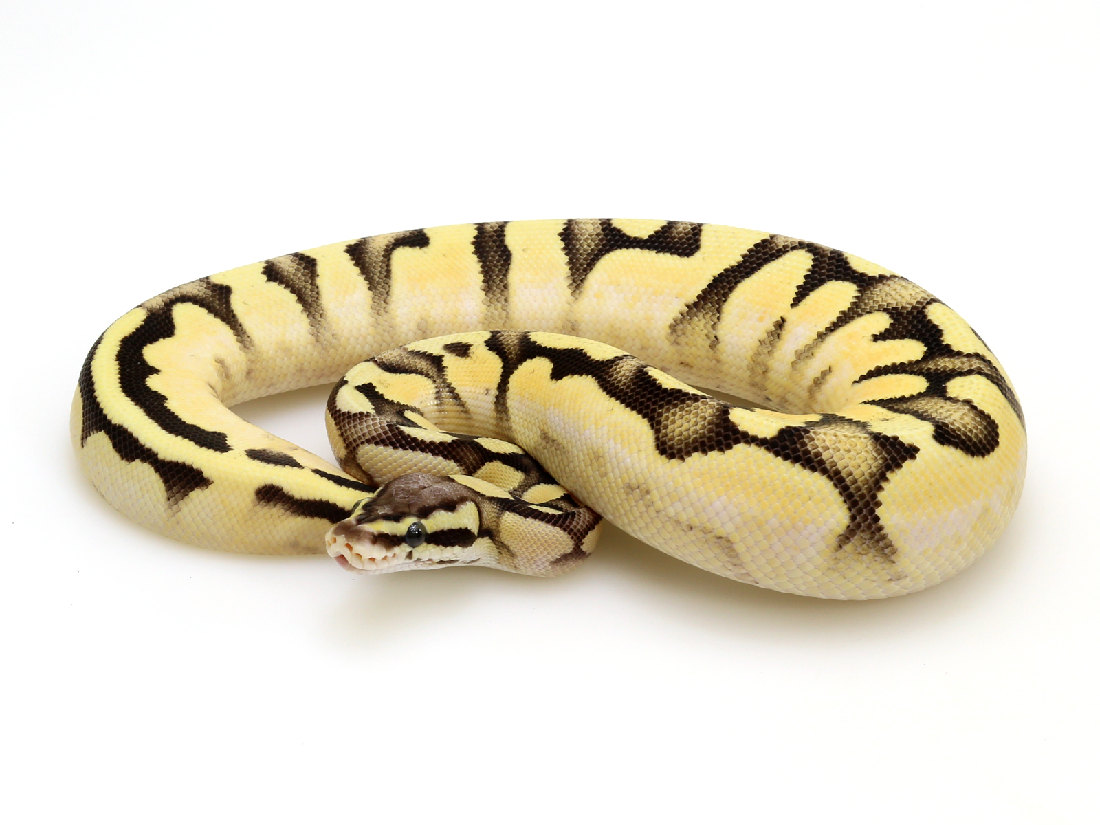 od-calico-pastel-fire