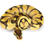 Ball Python, Orange Dream Enchi Fire