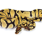 Ball Python, Orange Dream Fire