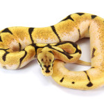 Ball Python, Orange Dream Spider Fire