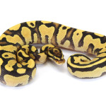 Ball Python, Orange Dream Yellow Belly Fire