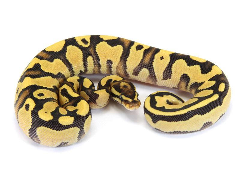 Ball Python, Orange Dream Yellow Belly Fire