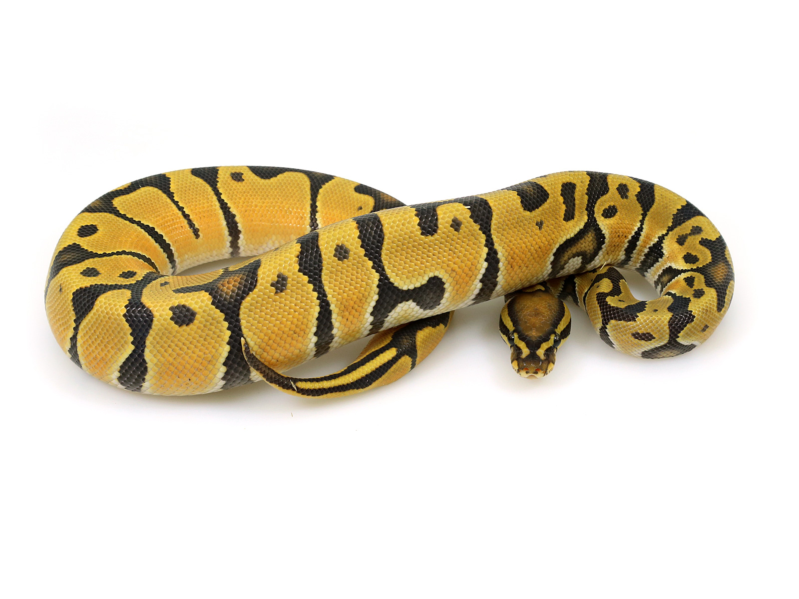 ball python, orange dream ghost