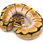 ball python, orange dream spider