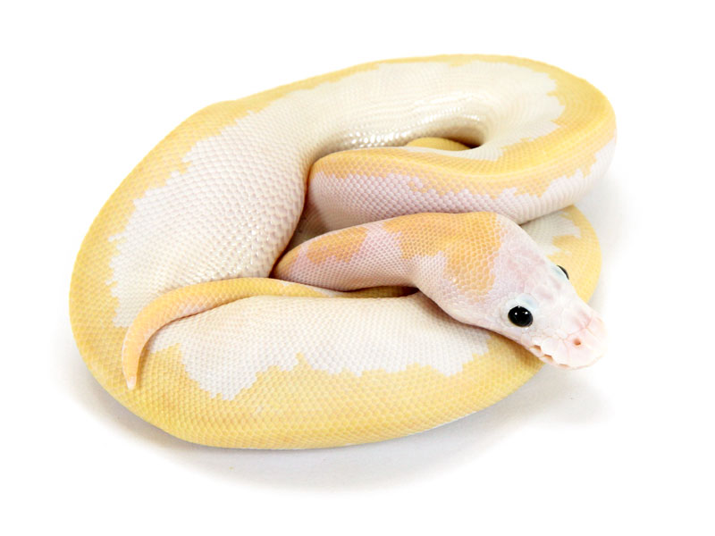 Ball Python, Orange Dream Super Fire