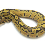 ball python, orange ghost