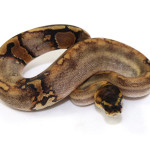 ball python, paradox champagne