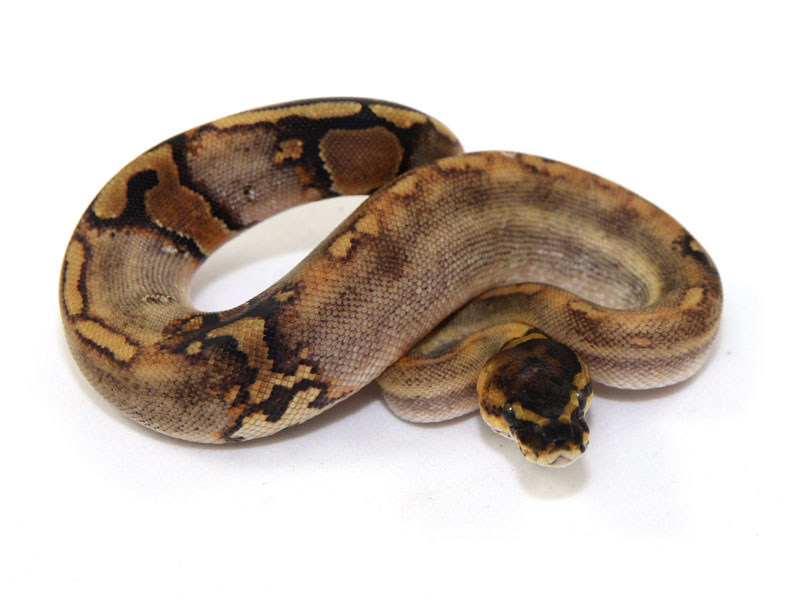paradox ball python