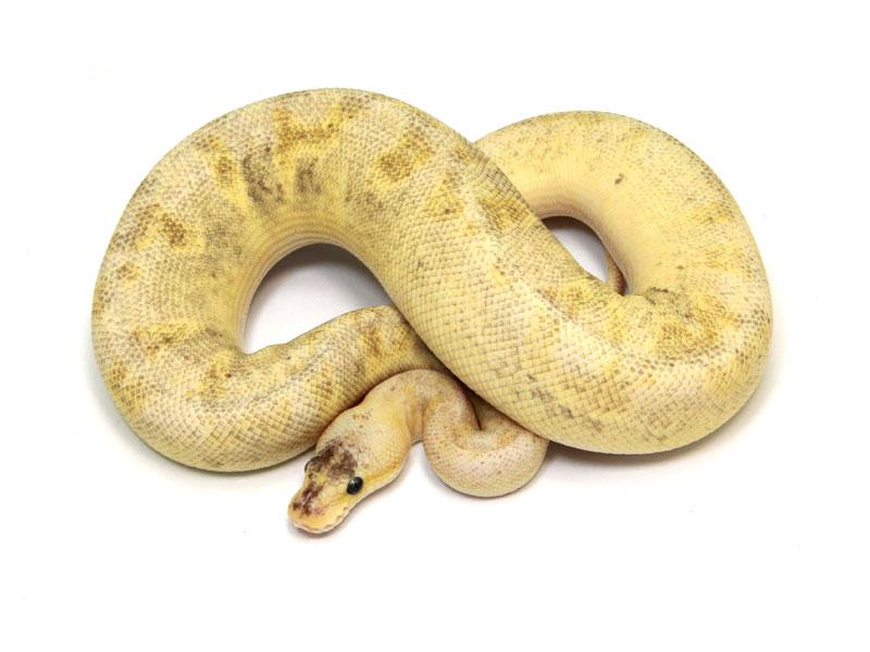 ball python, pastel champagne