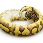 pastel-enchi-yellow-belly