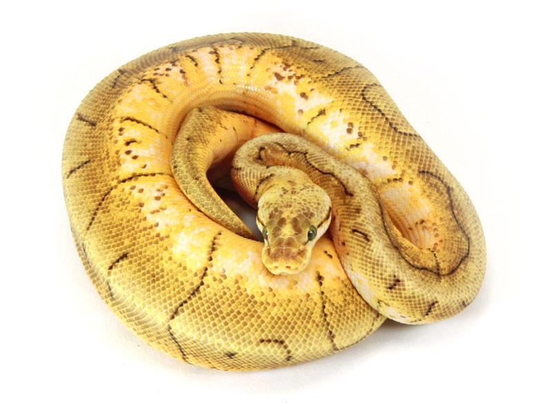 ball python, pastel pinstripe spider