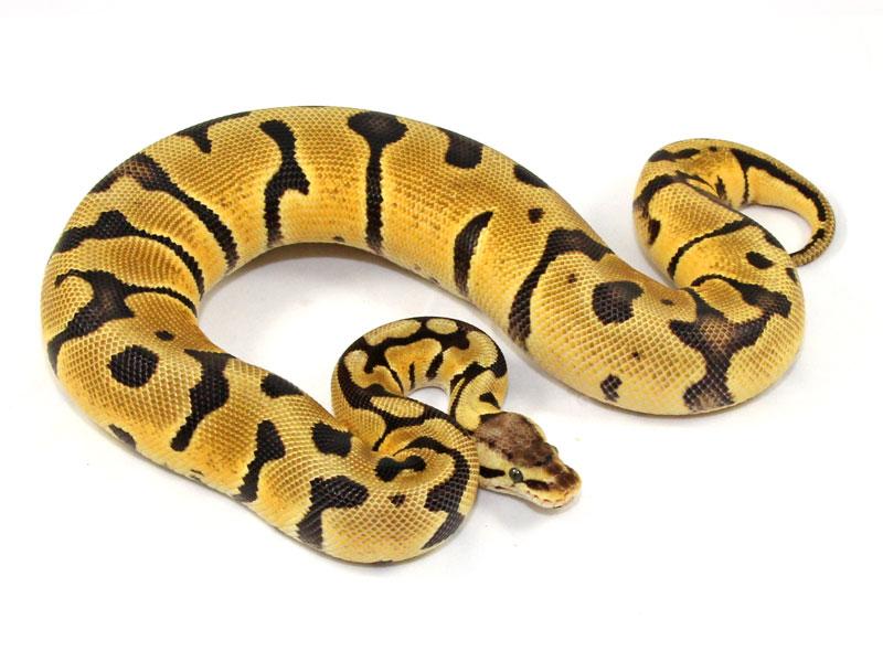 ball python, pastel super blade