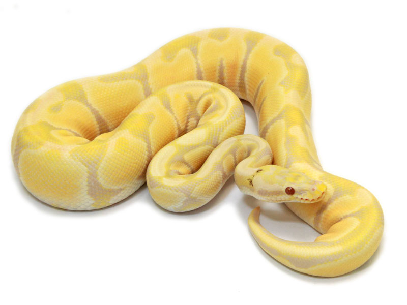 ball python, paradox pastel toffino