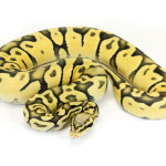 ball python, pastel vanilla ghost