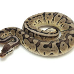 ball python, pewter blade