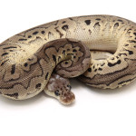 ball python, pewter clown
