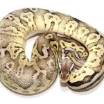 ball python, pewter fire