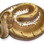 ball python, spider pinstripe