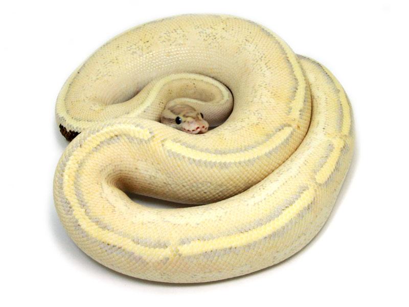 ball python, puma