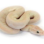 ball python, special diamond