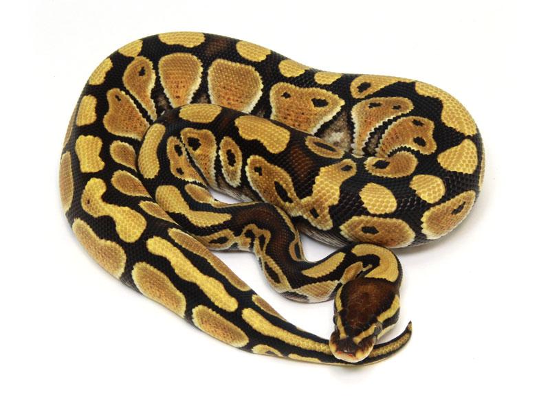 ball python, special