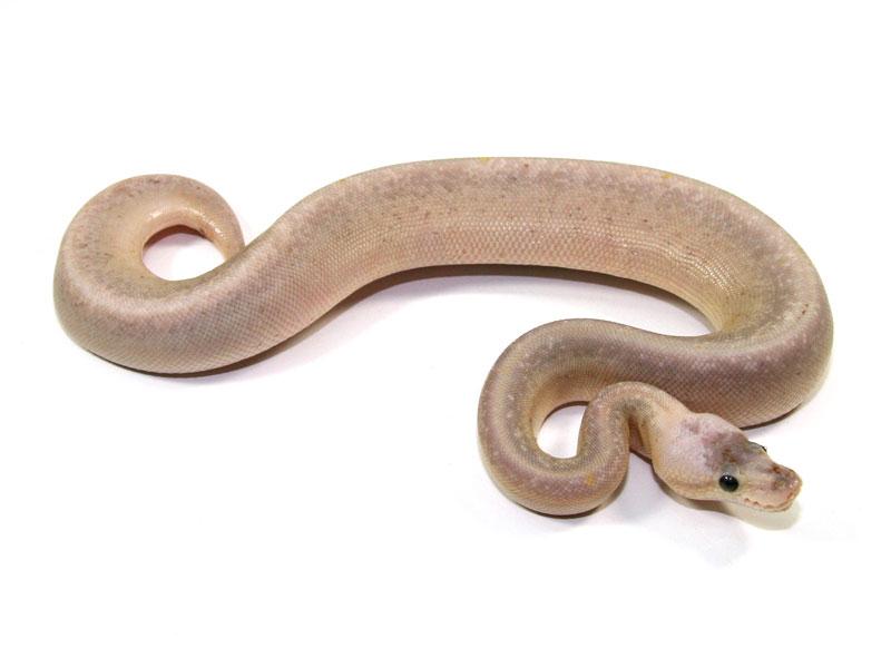 ball python, sterling pinstripe