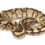 ball python, sulphur