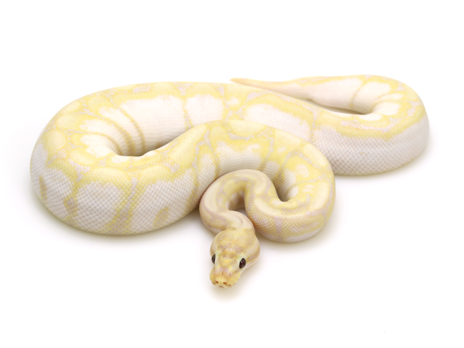 Banana spider ball python - photo#17