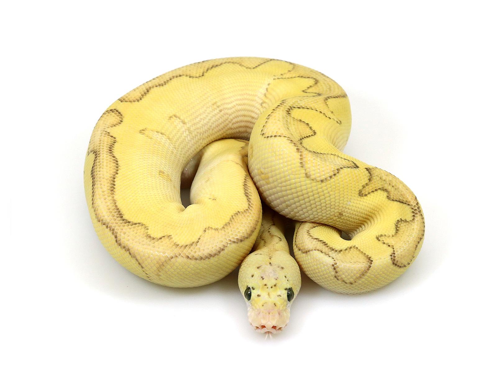 ball python, super blade butter pastel fire clown