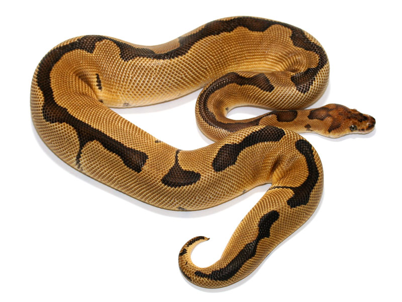 ball python, super blade clown