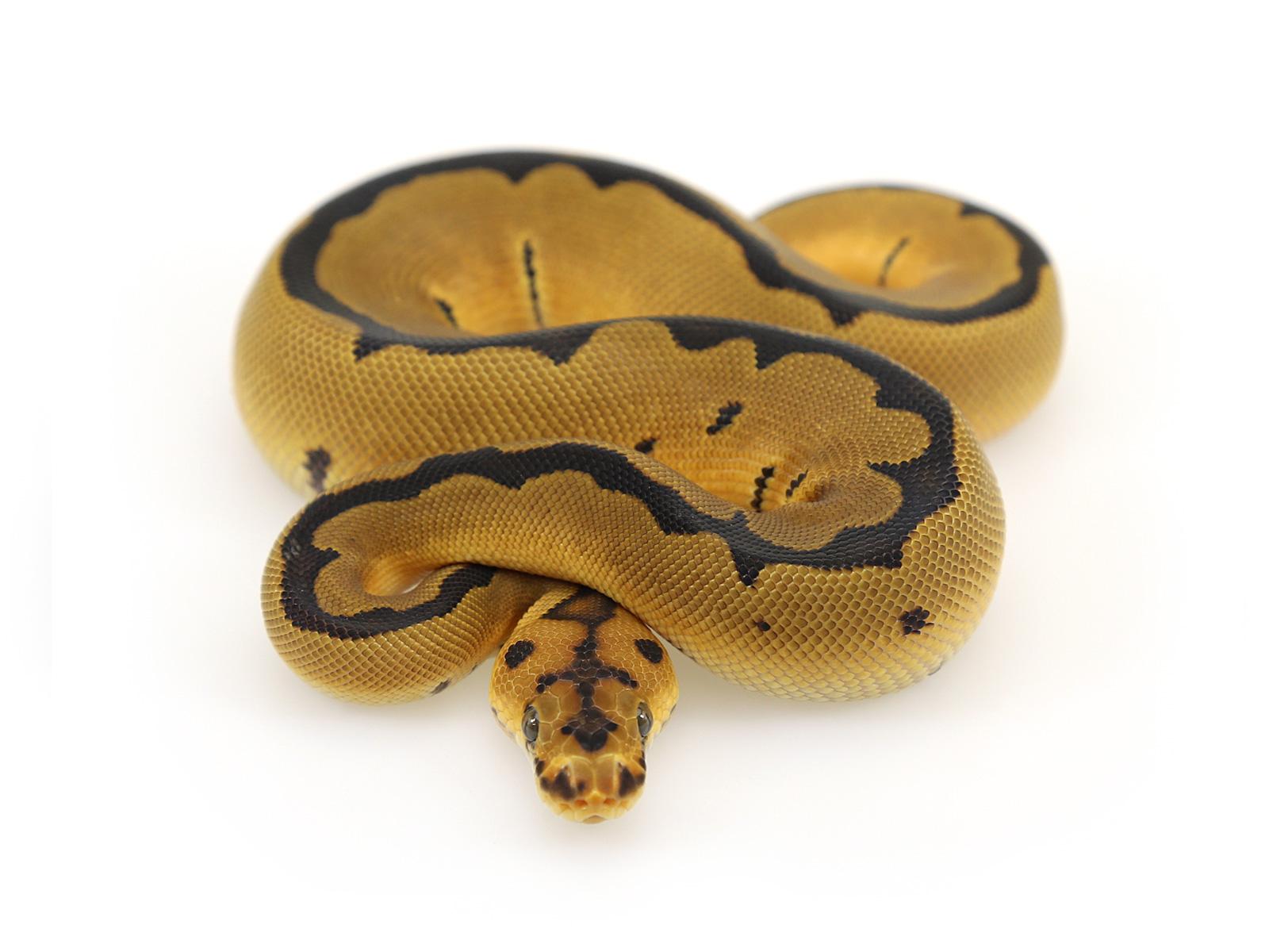 Pied clown ball python - photo#28