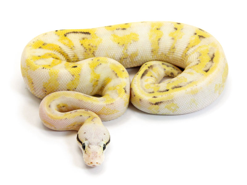 Ball Python, Super Citrus Pastel Super Stripe